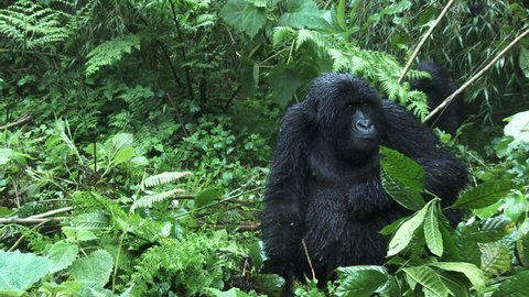 Mountain gorilla (Gorilla beringei beringei) in Bamboo forest Female scratching belly, juvenile breaking down branch