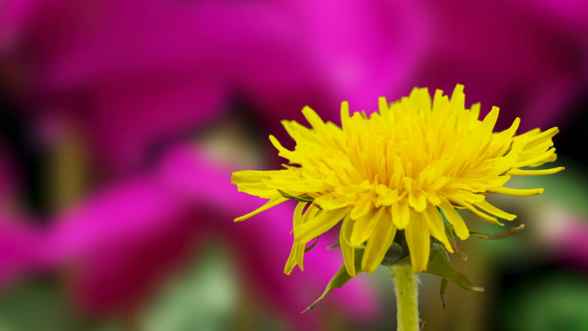 Timelapse video of a yellow dandelion flower grwing with a purple ornametal cyclamen flower growing in the background/Dandelion blossoming timelapse
