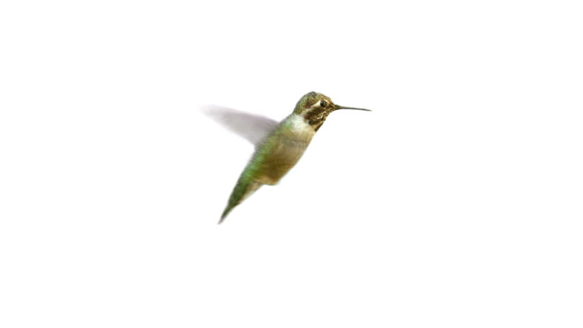 Video of real Humming bird with Alpha Matte on the white background | Shutterstock HD Video #24255431
