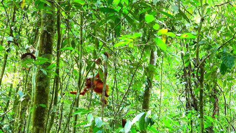 Baby orangutan makes its way through exotic rainforest. Young primate hanging on lianas in tropical jungle. Endemic species in natural habitat. Sumatra, Indonesia. Long shot. Camera stays still.