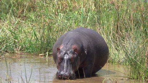 Angry hippopotamus, Hippo Bull feels disturb and become angry, Savannah, Rwanda, Africa