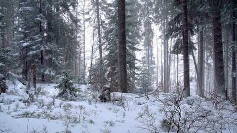 fabulous winter forest, snow storm in the pine winter forest, blizzard in the forest, Forest Trees In Snowstorm, snowstorm blizzard in the woods snowing winter