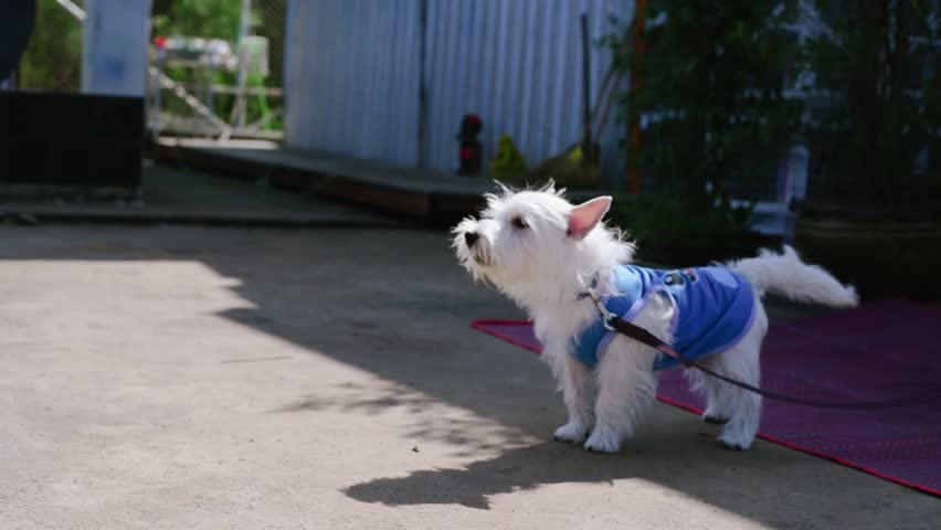 West Highland White Terrier Dog Barking.