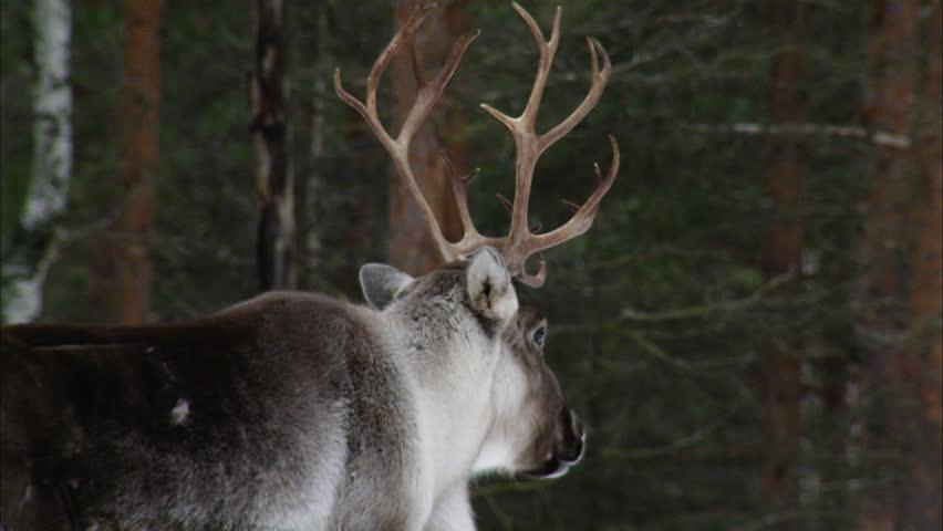 A reindeer | Shutterstock HD Video #2440583