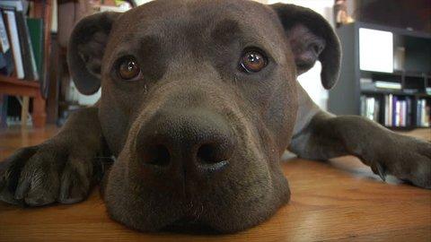Closeup of dog face, pit bull