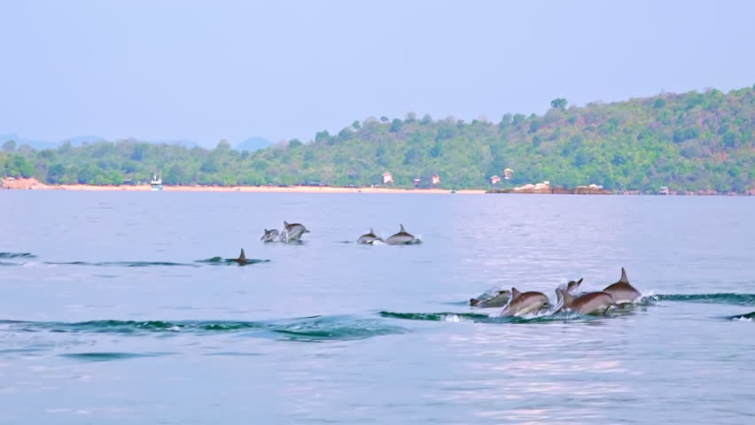 Big group of porpoising Spinner or Long-Snouted Dolphins (Stenella longirostris) chasing fish and breaching in morning. Spectacular and impressing wildlife scene. Sri Lanka. Long shot. Slow motion. | Shutterstock HD Video #24512261