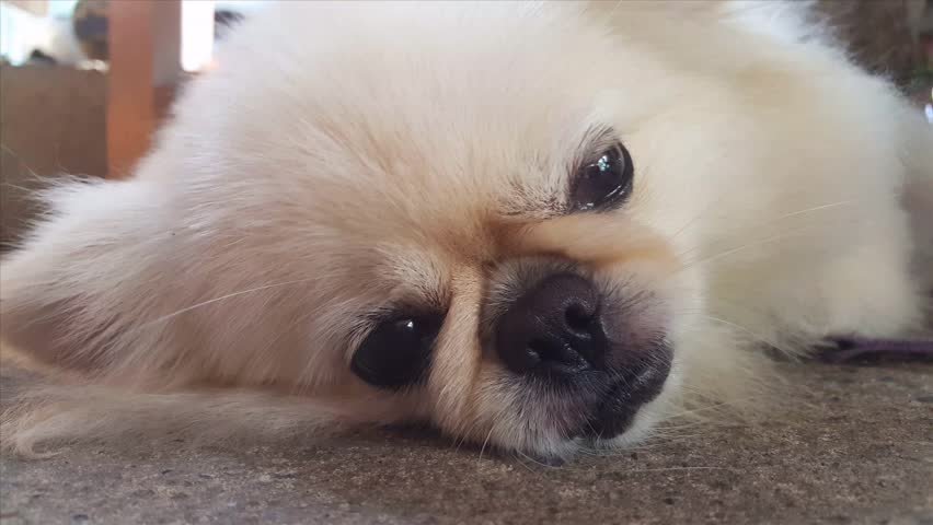 Simple Pomeranian Canine Adorable Dog - 1  You Should Have_861486  .jpg