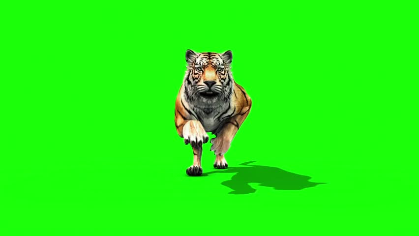 Tiger Run Animals Loop Front Green Screen 3D Rendering Animation