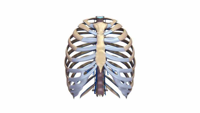 Rib cage with ligaments and veins   Shutterstock HD Video #24556061