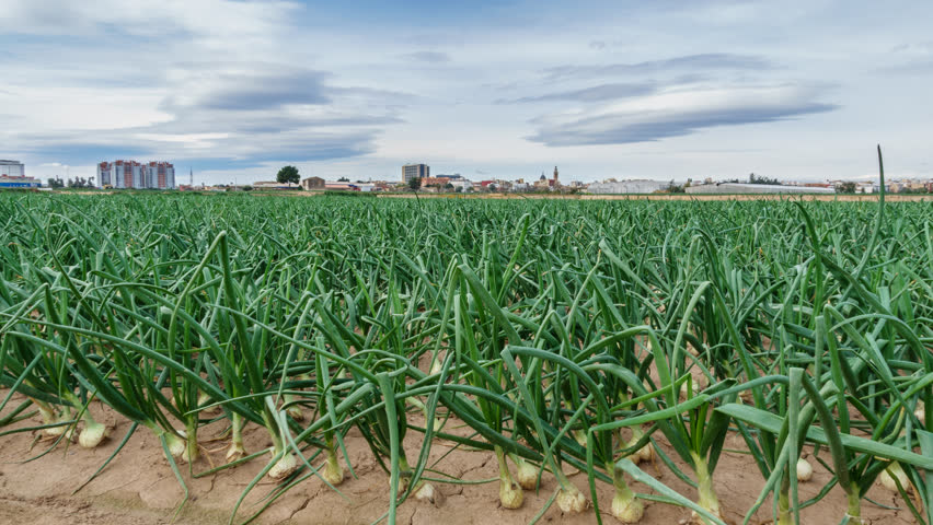 Closeup of onion field near city time lapse, sliding camera | Shutterstock HD Video #24558701