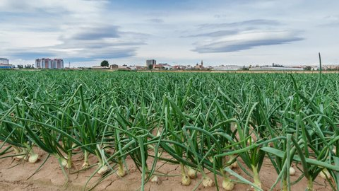 Closeup of onion field near city time lapse, sliding camera