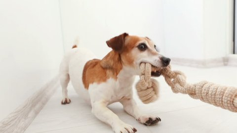 Adorable small dog snatches a toy from hand rope knots. An active pup Jack Russell terrier is a funny game. Video footage. Tug of War