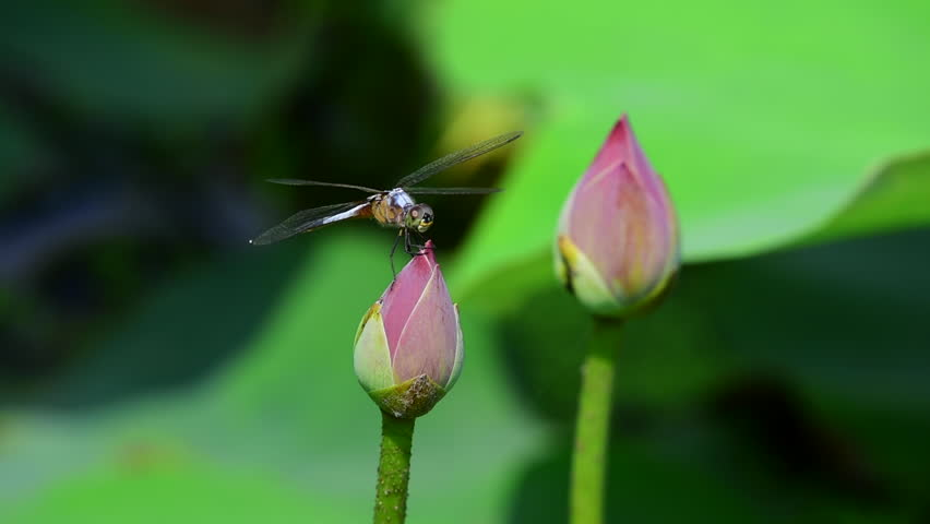 Dragonfly Is On The Lotus Flower While The Wind Blows