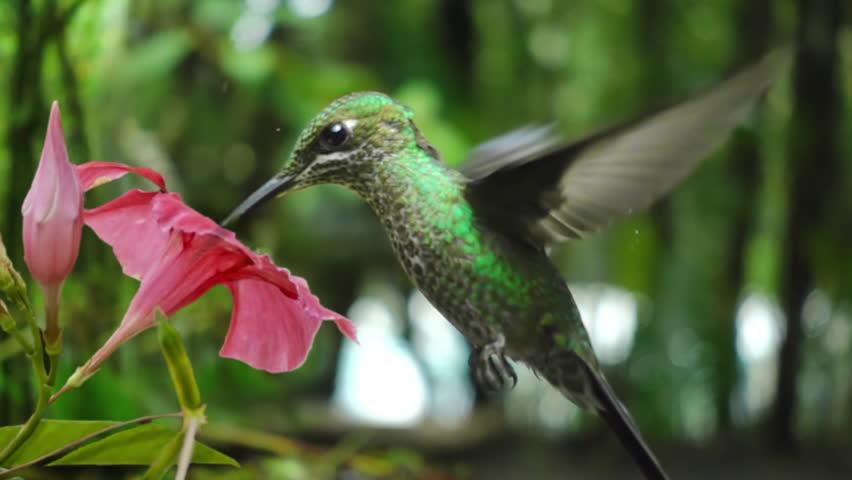 Hummingbird feeding from flower slow motion | Shutterstock HD Video #24790592