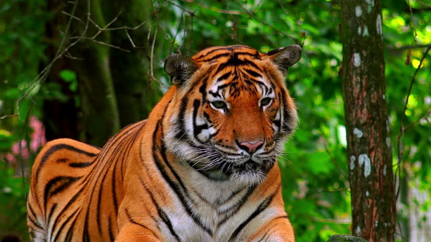 Asian or Bengal tiger lying on ground among tree trunks and thicket of green bushes and looking around. Wild animal resting in jungles. Inhabitant of tropical forest. Front view. Camera stays still.