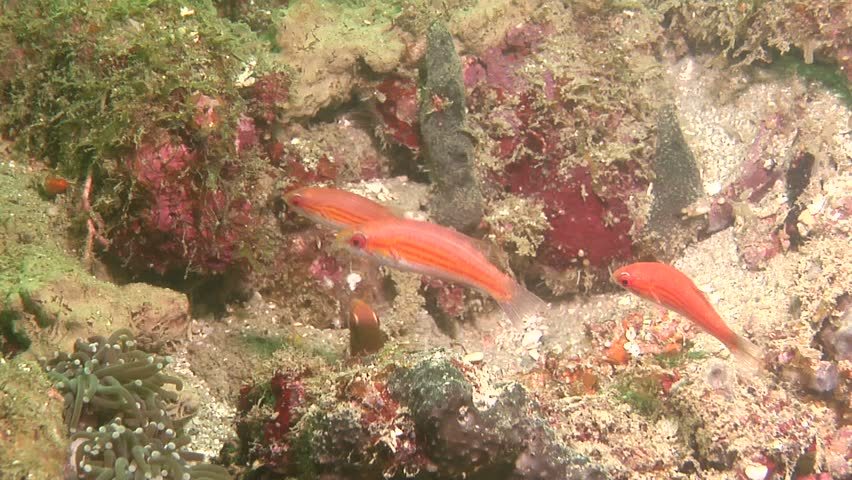 Female adult Filamented flasher (Paracheilinus filamentosus) underwater in Solomon Islands