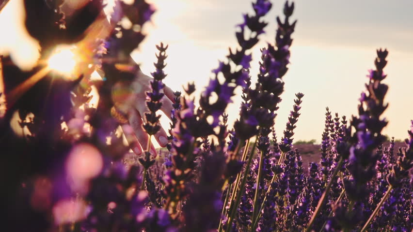 Close-up of woman's hand running through lavender field. Stabilized shot SLOW MOTION 120 fps. Girl's hand touching purple lavender flowers. Plateau du Valensole, Provence, South France, Europe. | Shutterstock HD Video #24817949