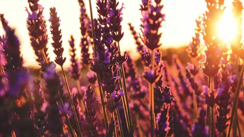 Lavender Flowers. Sunset Sun Shining through Beautiful Blooming. SLOW MOTION 120 fps Close Up Dolly Shot. Plateau du Valensole, Provence, South France, Europe. Cinematic Nature Background. Lens Flare.