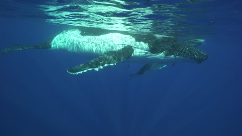 Humpback whales, mother and calf in clear water around the island of Tahiti