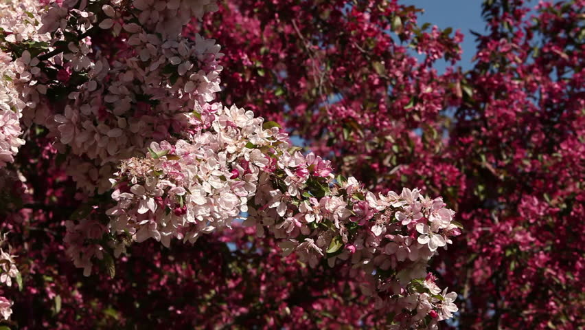 Honeybees buzz around blooming pink and white crabapple trees.