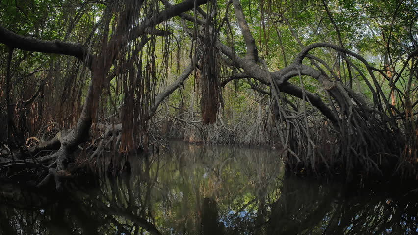 Virgin mangrove forest in Sri Lanka with exotic vegetation on river banks. Thick dense thicket of trees and roots in flooded swamp area. Foliage of canopy reflecting in river water surface | Shutterstock HD Video #24942227