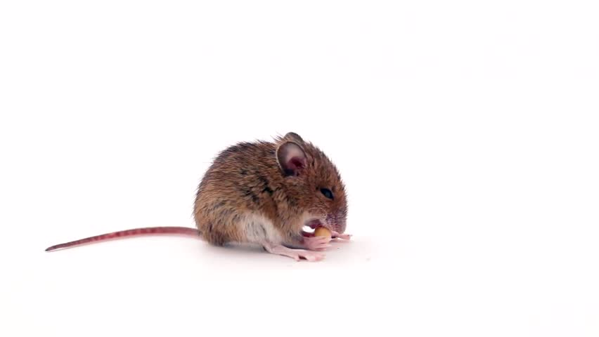 cute little mouse eating on white background