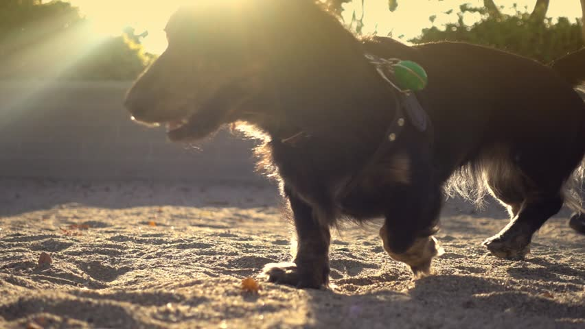 Happy long-haired dachshund dog walking on sand in park, slow motion. Shot against sunset with sun flare.