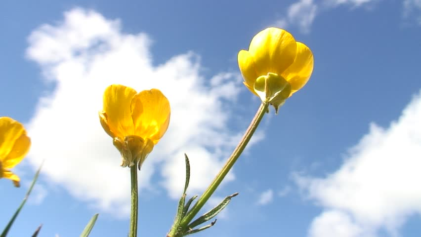 HD 1080i: Yellow flowers swaying in the wind against blue sky with clouds.