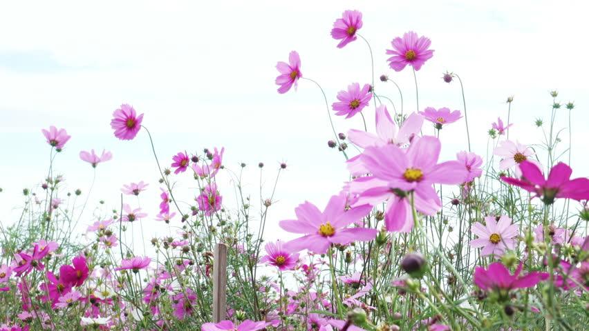 beautiful flower field cosmos pink flowers swaying  #25156727