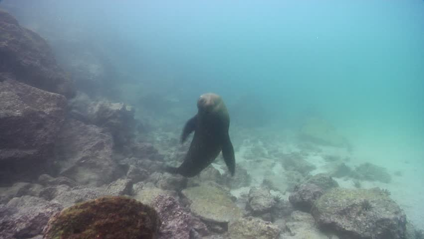 Galapagos sea lion (Zalophus californicum wollebacki) swimming underwater in Ecuador
