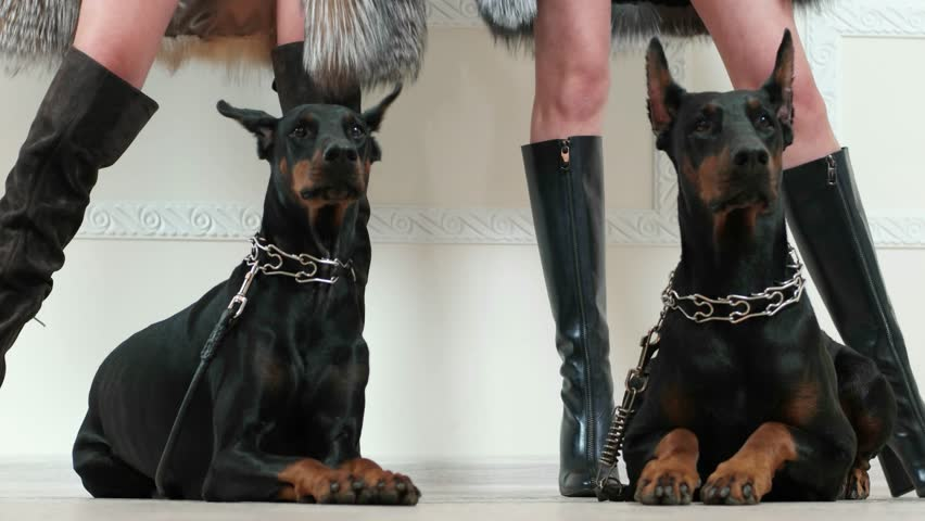 Closeup Portrait Of Doberman Pinscher Dog Looking Forward With Sexy Girl In Black Fur -4430