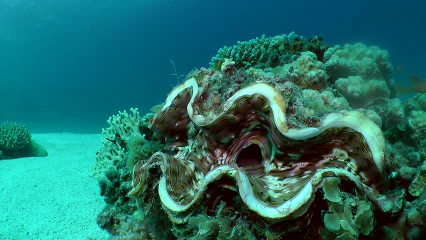 Very large Giant Clam (Tridacna gigas) against the background of the bottom and blue water column, medium shot.