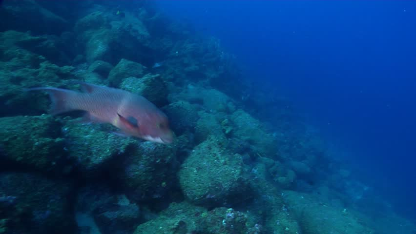 Mexican hogfish (Bodianus diplotaenia) swimming underwater in Ecuador