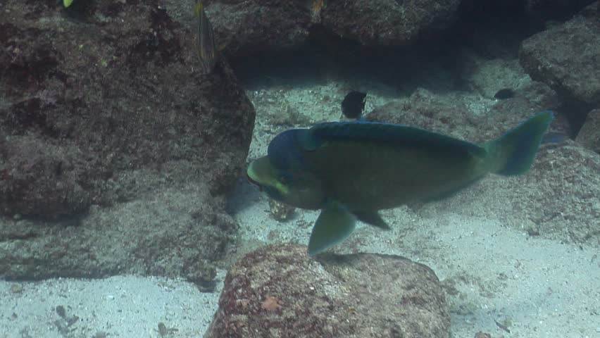 Bumphead parrotfish (Scarus perrico) swimming underwater in Ecuador