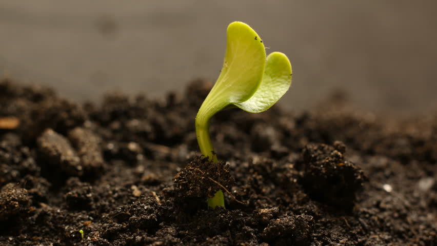 Germinating Seed Growing in Ground Agriculture...