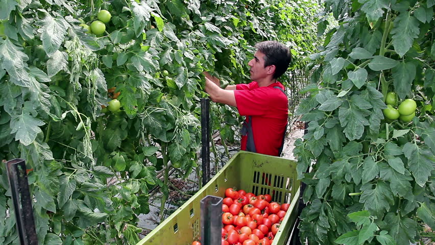 Harvesting tomatoes in a greenhouse. Freshly harvested tomato in worker's hands. Food industry. Agricultural production. Ripe tomato. Commercial greenhouse interior. Food production.