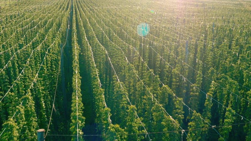 Aerial - Low flight above trellises made from wires on hop farm. Fresh and ripe hop field plant growing up the trellises | Shutterstock HD Video #25307381