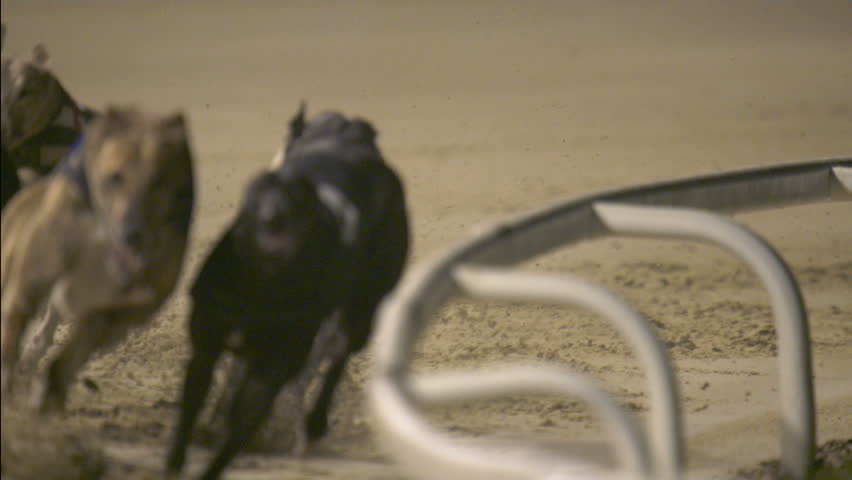 Close up of trap 2 racing, shot develops into view of all 6 dogs. high-speed