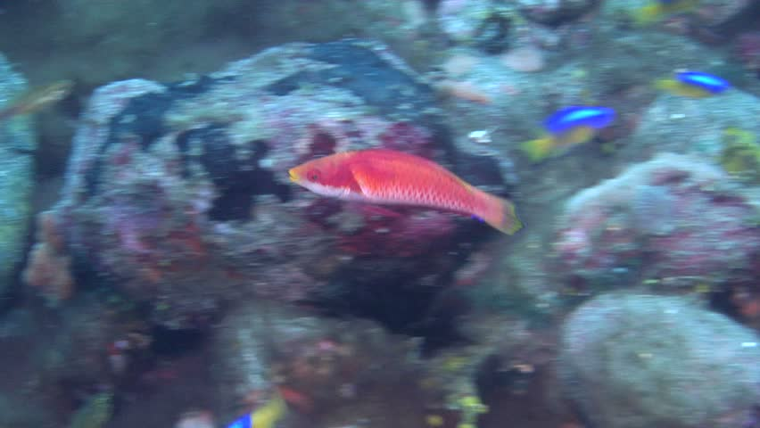 Male adult Tonos wrasse (Cirrhilabrus tonozukai) swimming underwater in Indonesia