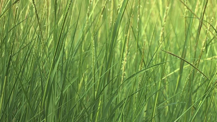 tall green grass field. Tall Green Grass Gently Waving In The Wind Stock Footage Video 2535521   Shutterstock Field L