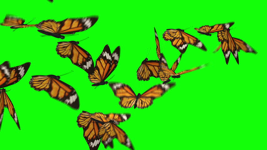 Butterflies flock flying left to right isolated on green box background. Ultra HD, Ultra-High Definition. Easter theme. Fly away.