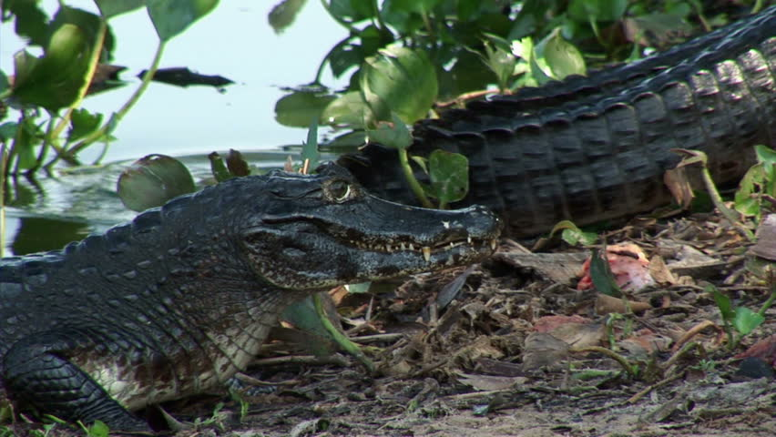 Brazil: Fauna of Amazon river region - crocodile