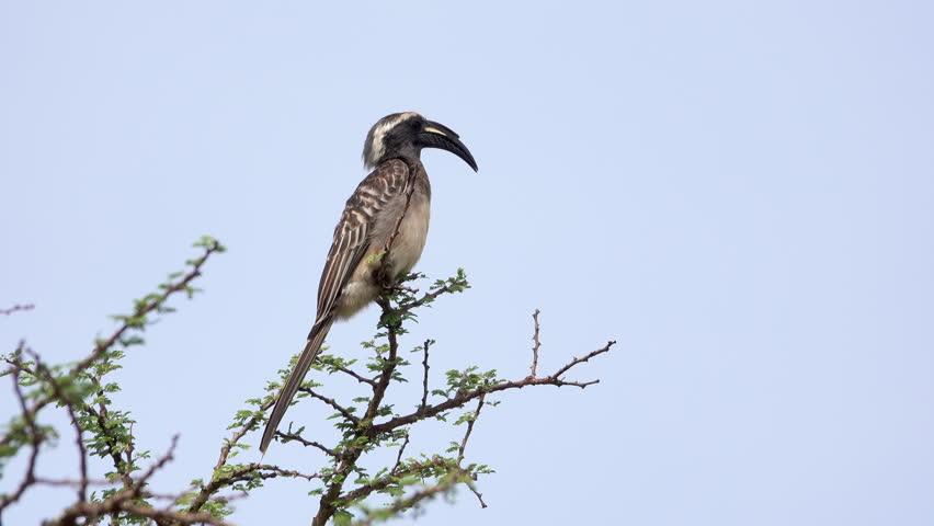 Header of African Grey Hornbill