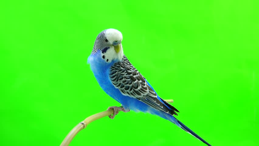 budgie isolated on green screen #25614101