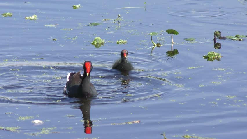 Common Gallinule with its chicks in a pond #25704251