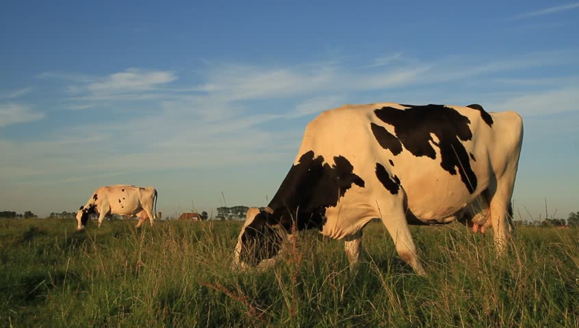 2 cows grazing in the warm sunlight of a beautiful evening.