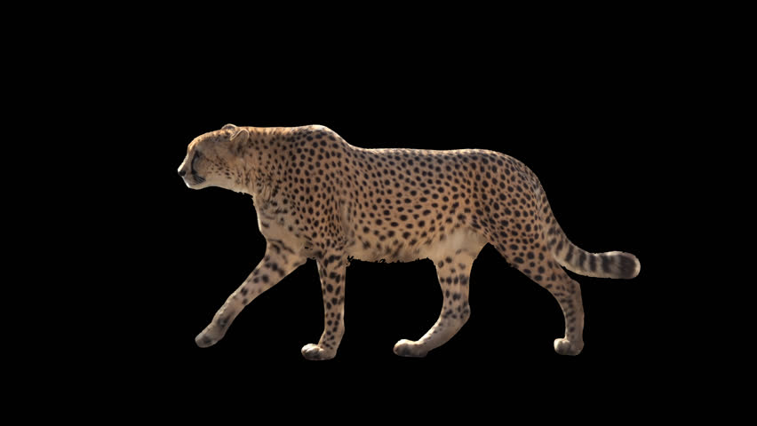 Cheetah slowly walking seamlessly looped on black screen, real shot, isolated on alpha channel premultiplied with black and white luminance matte, perfect for digital composition, cinema, 3d mapping