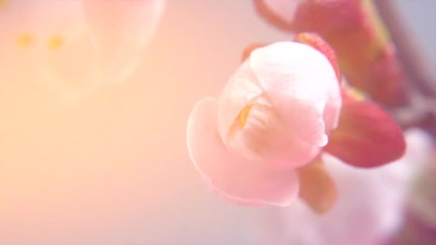 Beautiful Spring Apricot tree flowers blossom timelapse, extreme close up. Time lapse of Easter fresh pink blossoming apricot closeup. Soft focus. 4K UHD video 3840X2160