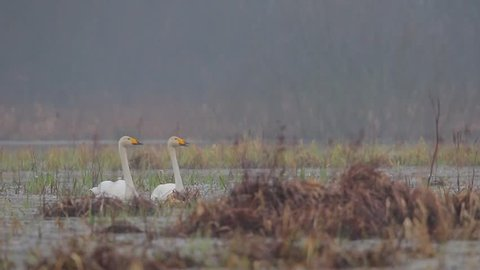 Whooper Swan. Couple of the birds in springtime.