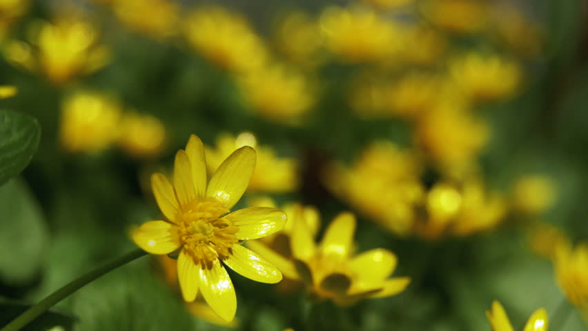Yellow fall flower gently blowing in the breeze stock footage video ranunculus ficaria flowering on early spring day in the meadow yellow flowers in early spring mightylinksfo
